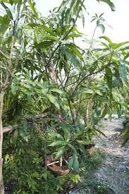 essay on coconut tree coconut leaf puso