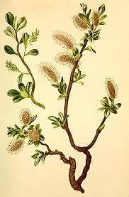 Salix retusa - Wikipedia, la enciclopedia libre