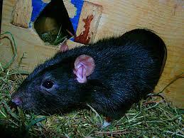 """Résultat de recherche d'images pour """"rat domestique noir"""""""