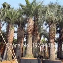 bonsai <b>palm</b>