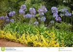 Images & Illustrations of blue African lily