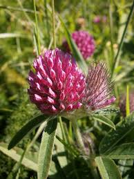 Trifolium alpestre - Wikipedia, la enciclopedia libre