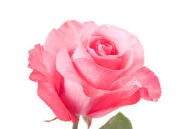 Image result for images of pink rose