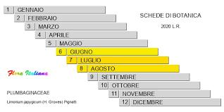 Limonium japygicum [Limonio salentino] - Flora Italiana