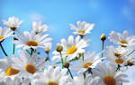 Images & Illustrations of camomile