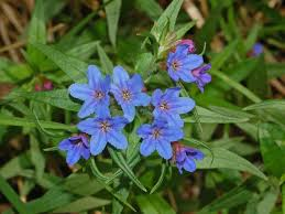 Lithospermum purpurocaeruleum - Wikipedia