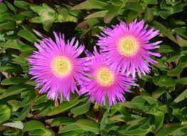Carpobrotus - Wikipedia
