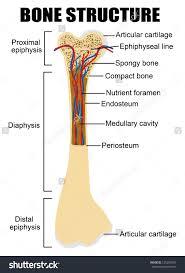 bone labeled diagram   anatomy human body    bone labeled diagram long bone diagram labeled human anatomy diagram