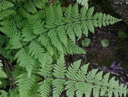 Image result for bladder fern