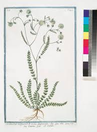 Lagoecia cuminoides - Wikispecies