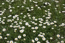 Bellis perennis - Michigan Flora
