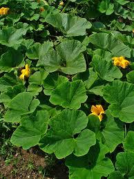 Field pumpkin