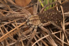 Wolf Spiders : Nature Closeups