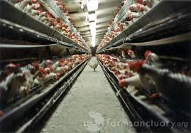 Industrial Chicken Farm