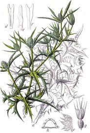 Eryngium campestre Field Eryngo PFAF Plant Database