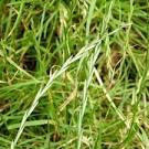 quitch grass