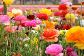 Grow and Care for Ranunculus Flowers