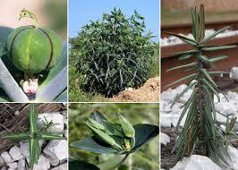 Euphorbia lathyris L. - Sistema informativo sulla flora delle Alpi ...