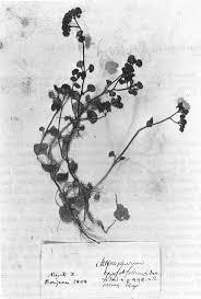 Sull'esclusione di Chrysosplenium oppositifolium L. (Saxifragaceae ...