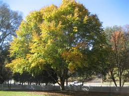 Image result for american beech