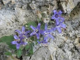Campanula elatinoides - Moretti ( Campanula dell'Insubria ...