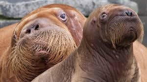 kangaroo walrus