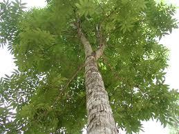 Resultado de imagen para imagenes de árbol caoba