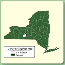 Hypericum - Genus Page - NYFA: New York Flora Atlas - NYFA ...