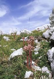 Sempervivum Italicum Photograph by Bruno Petriglia/science Photo ...
