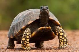 نتيجة بحث الصور عن السلاحف البرمائية