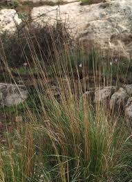 Stipa bromoides · iNaturalist