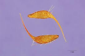 Plants Profile for Geum urbanum (herb bennet)