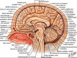 Imagini pentru sistemul nervos