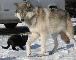Resultado de imagen para black cat with wolf