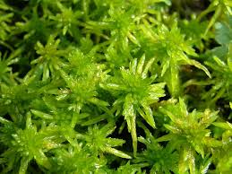 Image result for sphagnum moss