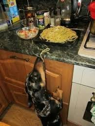 Image result for dachshunds stealing human food