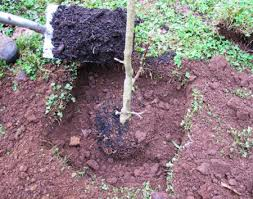 Image result for planting soil beside roots