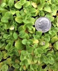 Kickxia elatine - Michigan Flora