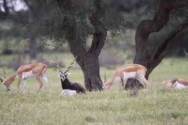 the land of the bishnois where conservation of wildlife is a blackbucks roaming ly in a relaxed atmosphere
