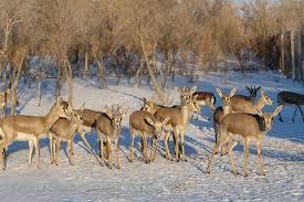 Goitred <b>Gazelle</b>