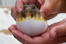 Image result for puffer toad fish