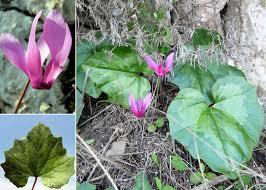Cyclamen repandum Sm. subsp. repandum - Portale della Flora di ...