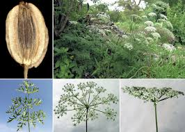 Pteroselinum austriacum (Jacq.) Rchb. - Portale alla flora del Parco ...