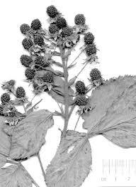 Gliederung der Sommergrünen Brombeeren in Europa (Rubus L ...