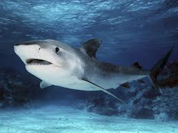 best images about sharks great white shark 17 best images about sharks great white shark megamouth shark and blue shark