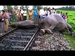 Image result for elephant dying on railway track images
