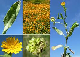 Calendula arvensis (Vaill.) L. - Portale sulla flora del Parco ...