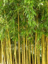 Image result for phyllostachys aurea