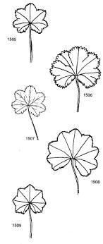 Se. Alchemilla Vulgares subser. Heteropodae - florae.it