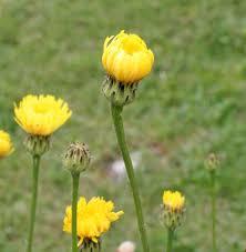 Hypochaeris maculata - Wikipedia